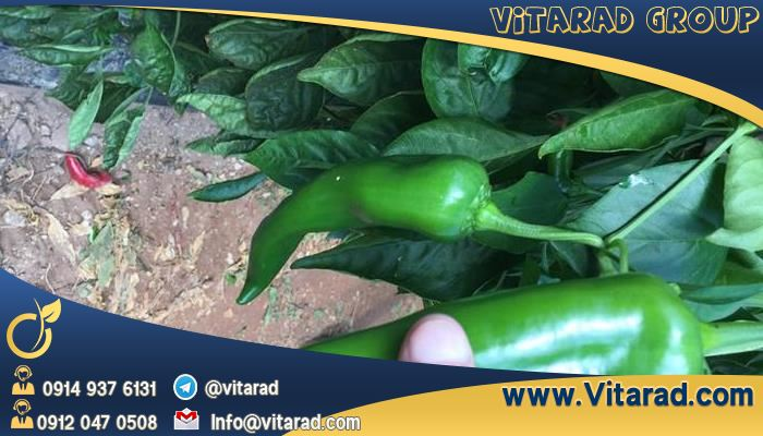Export of bell pepper from Iran