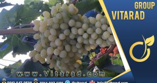 Iranian grapes for export