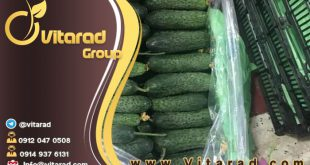 Persian cucumber export to Dubai